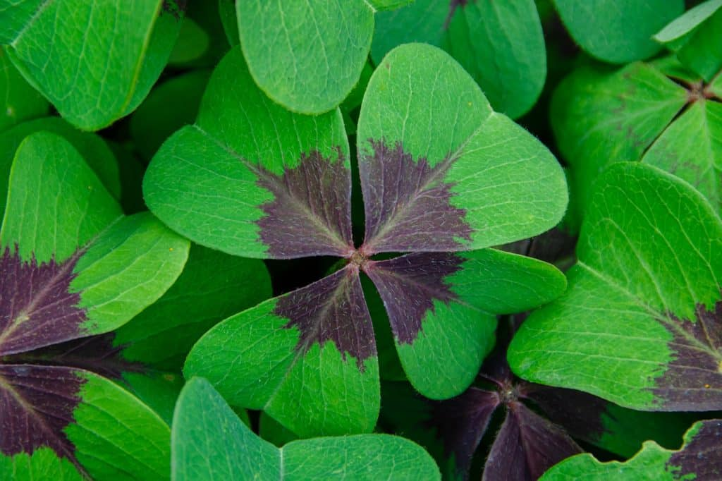 Lucky Clover Klee Vierbl%C%Attrig  - Kathas_Fotos / Pixabay